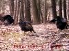 3-turkeys-lenox-ma