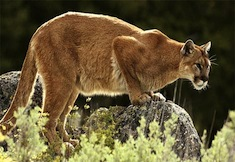 Post image for Mountain Lion Sightings In The Berkshires
